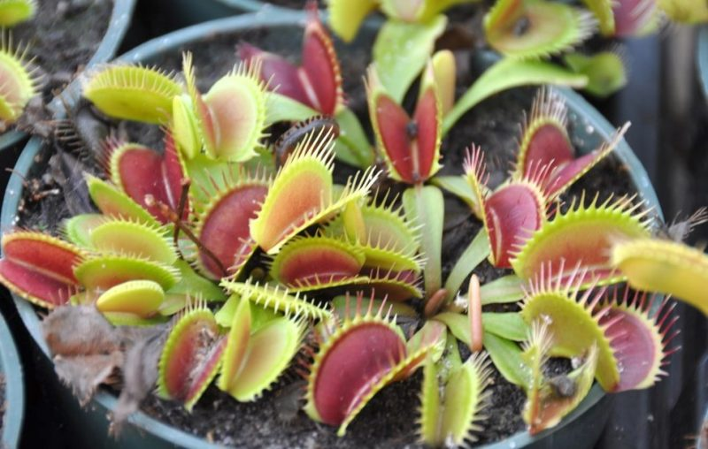A pot of Venus flytrap plants. The spiky lobes are green with a red inner surface.