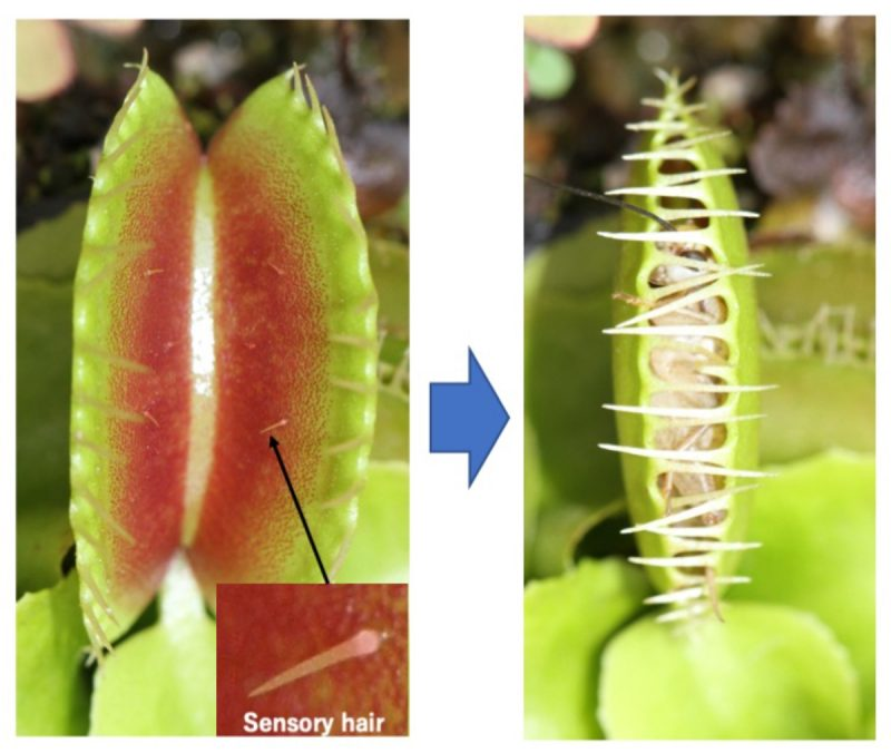 Two images; left, sensory hairs in inner lobes of open Venus flytrap; right, closed lobes with a trapped insect.