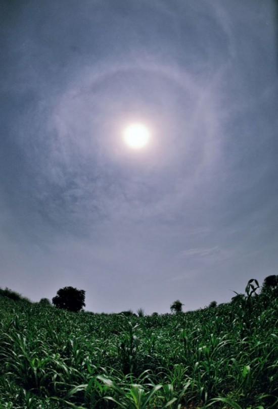 Brilliant sun with halo in high clouds over bright green field of leafy plants.