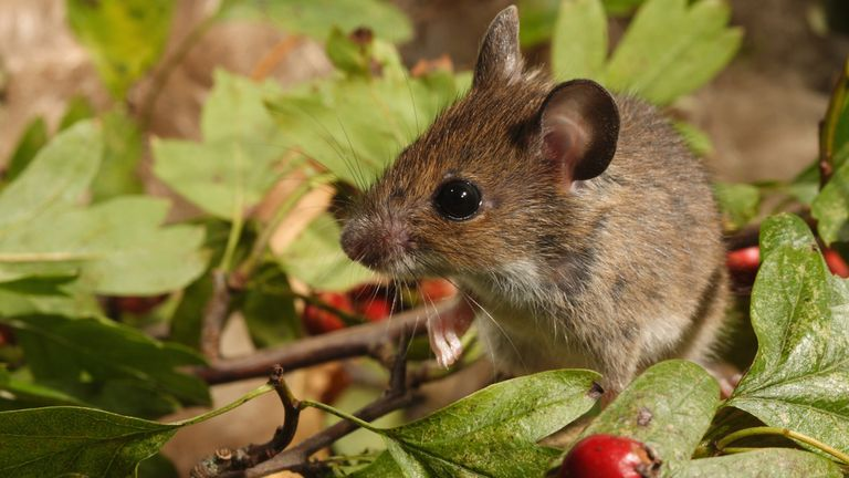 Wood mice have developed larger ears