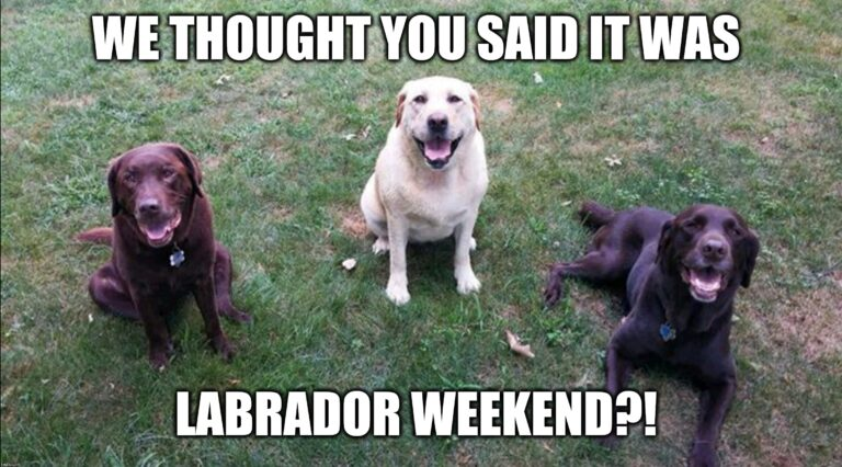 3 labrador dogs thinking it's their weekend.