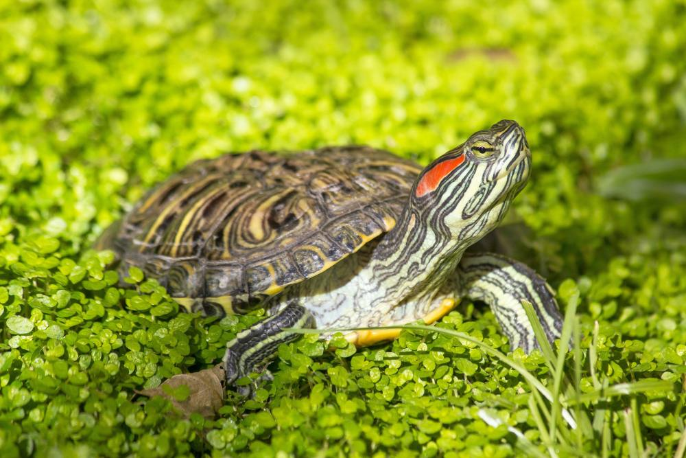 Reptiles as pets: A turtle with a red streak on its head surrounded by greenery.