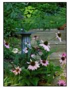 Naturalized Echinacea