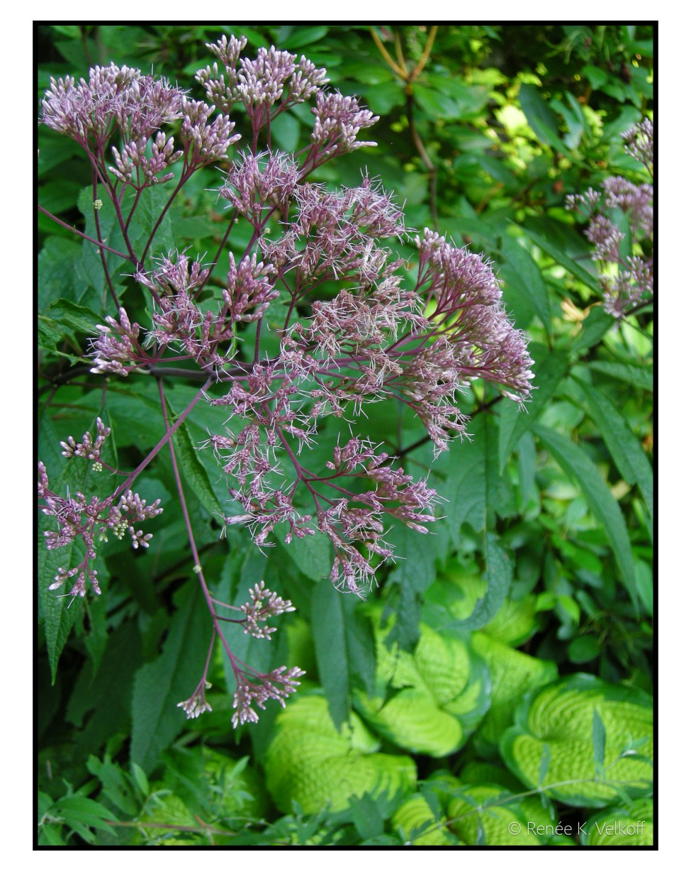 Joe Pye Weed with Hosta 'Northern Exposure'