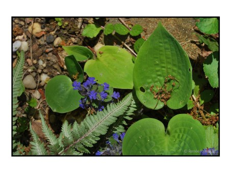 Hosta seedlings