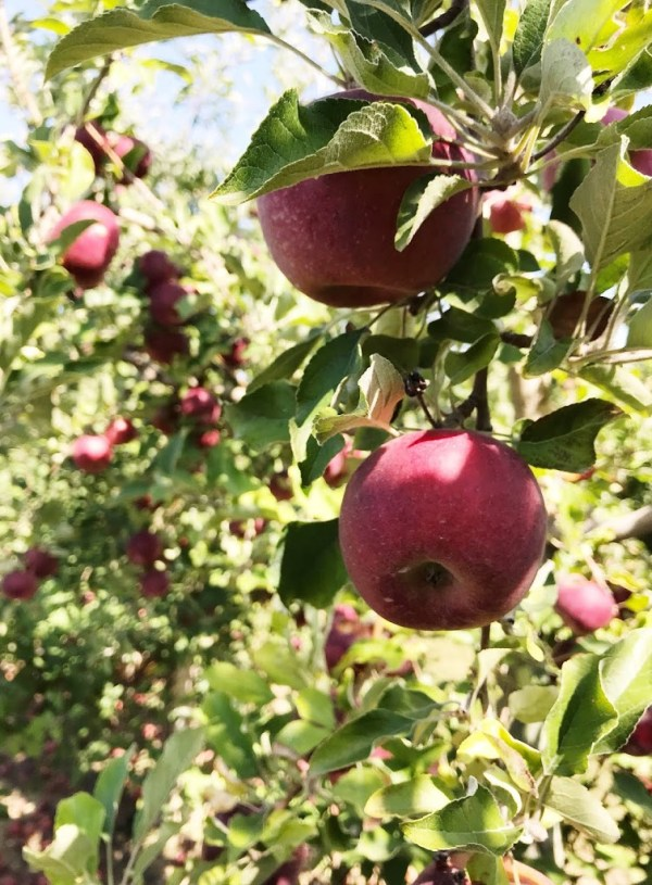 Apple Harvest Season + Our Favorite Recipes to Share.