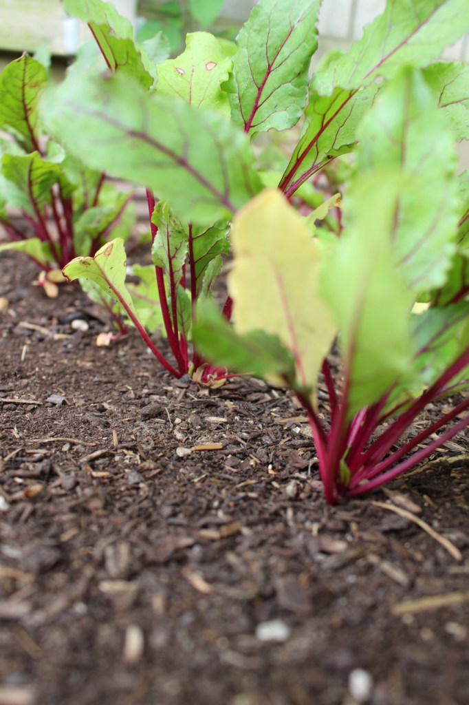 beets in the garden   mother of beees