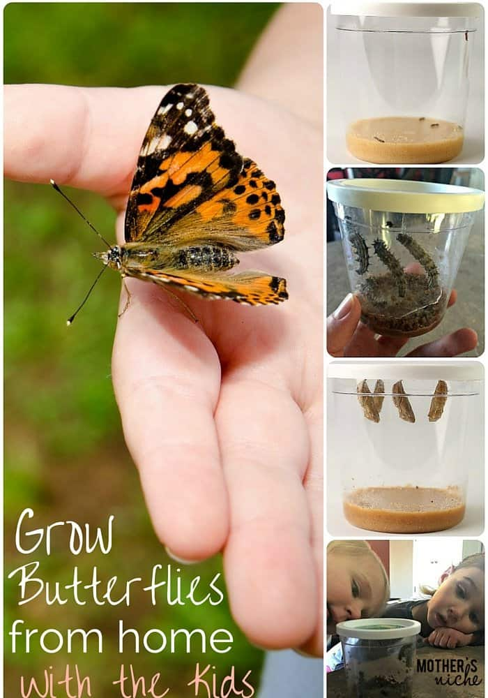 My kids LOVED watching our caterpillars hatch into butterflies. Such a fun activity for spring and summer!