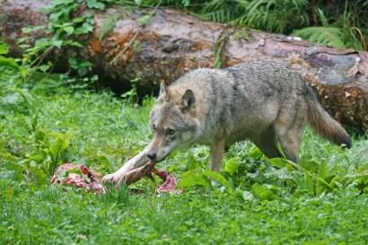 wildlife-mammal-crack-wolf-fox-predator-549257-pxhere.com