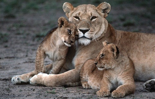 lioness cuddling with two cubs