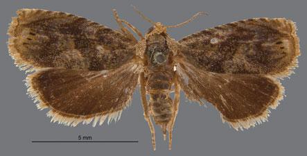 Moth Photographers Group Genitalia 990396 19396