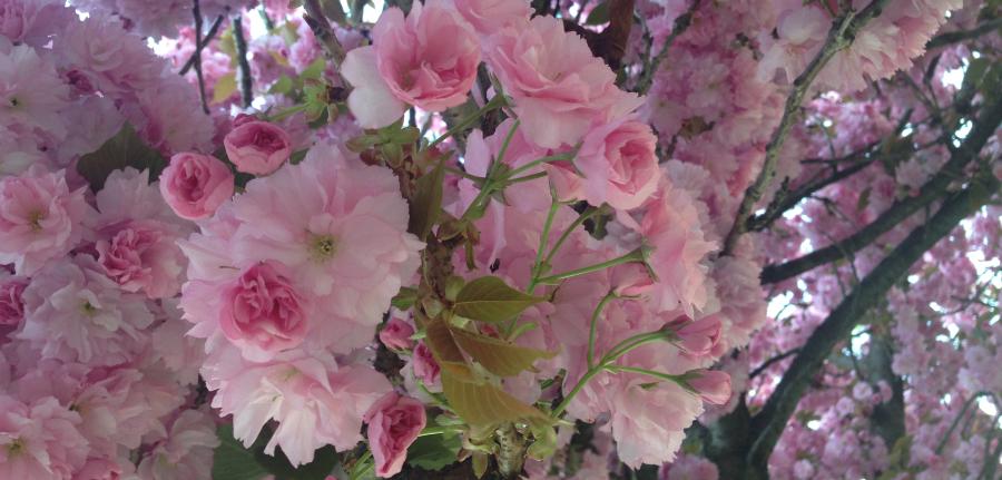 fleurs-cerisier