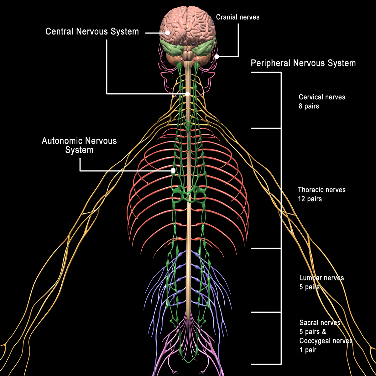 Skeleton Anatomy Amp Nervous System Rigged Motioncow