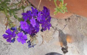 Italian Hawk Moth