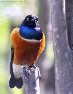 Robin at Honolulu Zoo