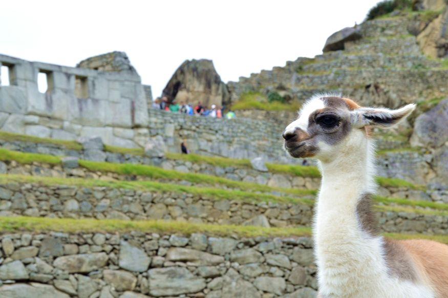 Лама среди руин древнего города инков