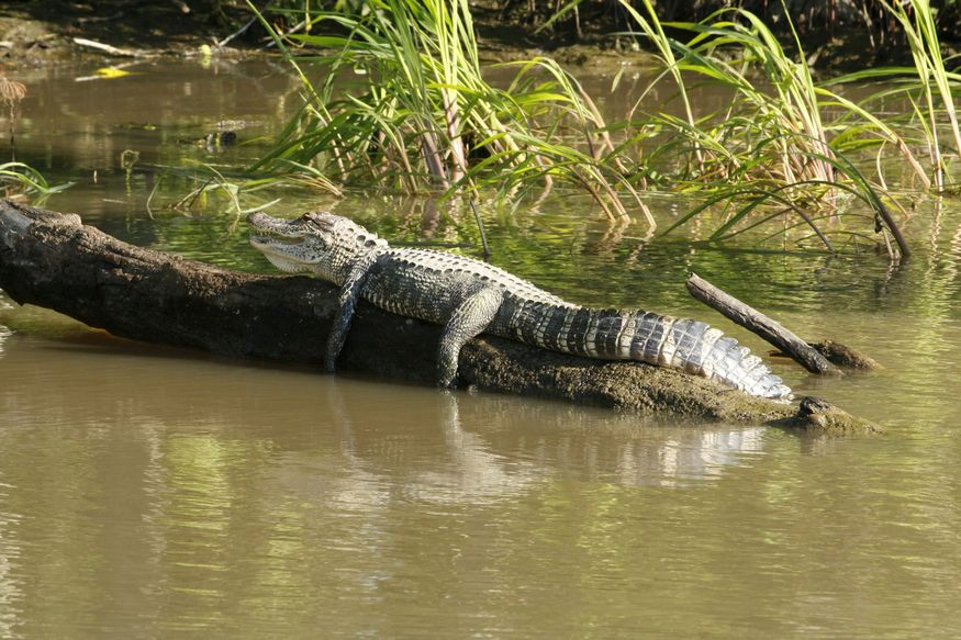 Кайман на бревне в Амазонке днем