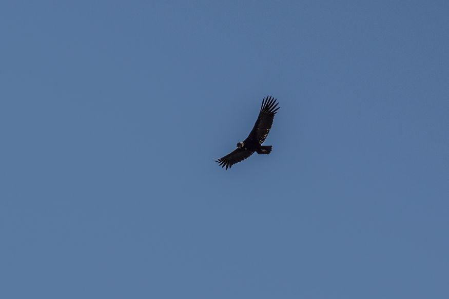Кондор парит в синем небе