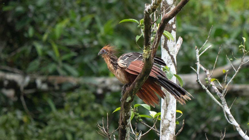 Hoatzin в дикой природе