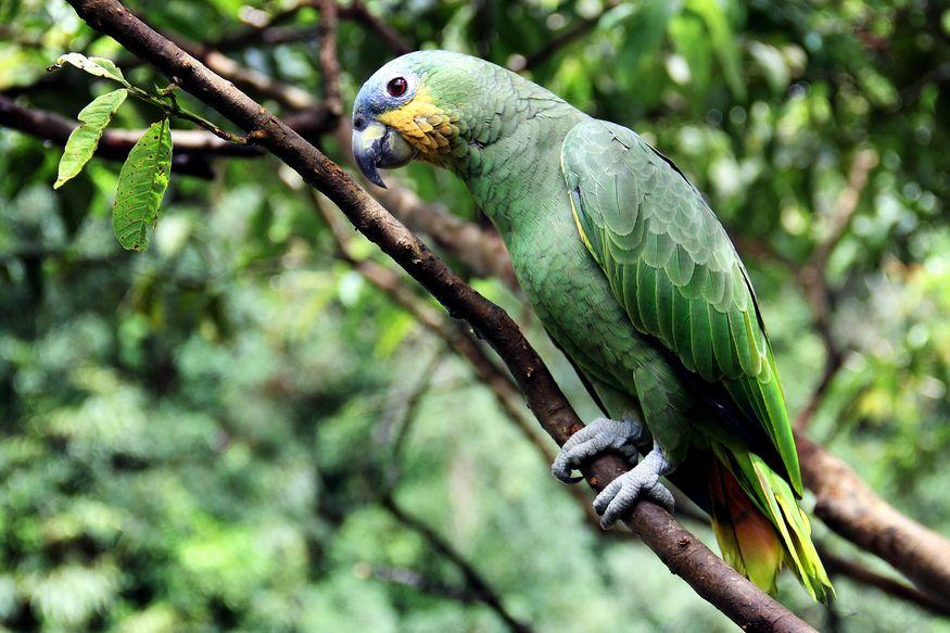 Зеленый амазон в тропическом лесу Амазонии