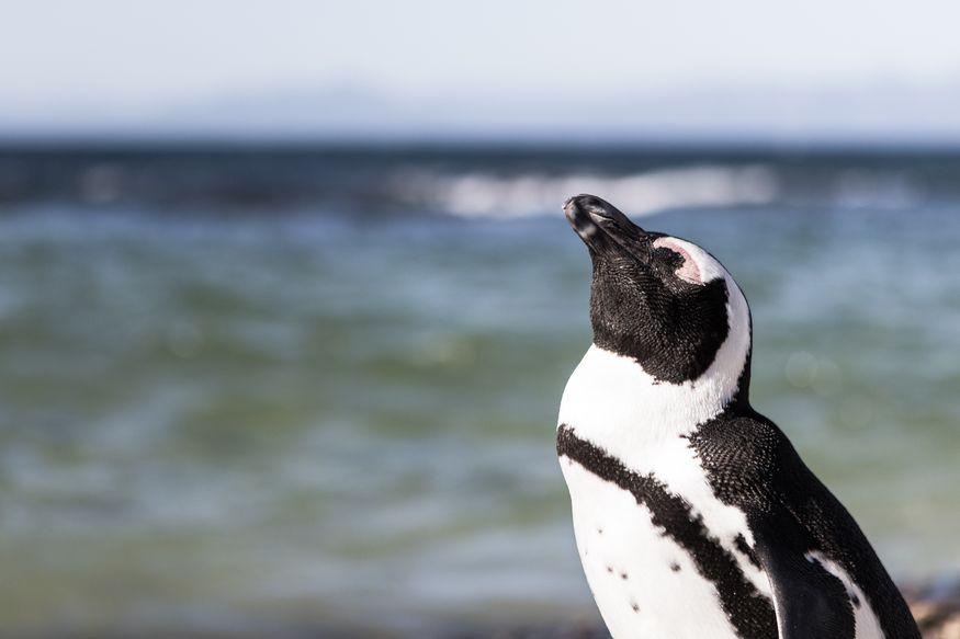 Пингвин греется на солнце на пляже в Перу