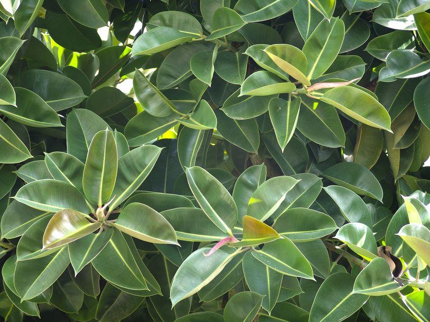 Листья каучукового дерева