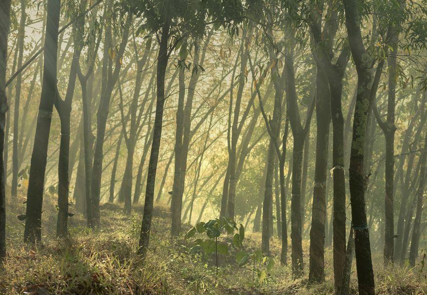 Лес бразильской гевеи - каучукового дерева