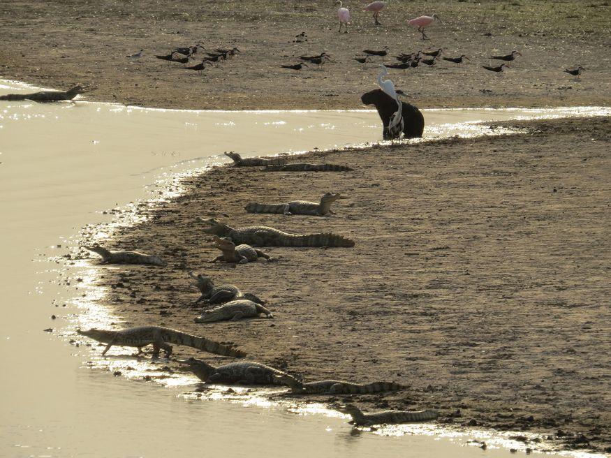 Кайманы, капибары и птицы на берегу реки