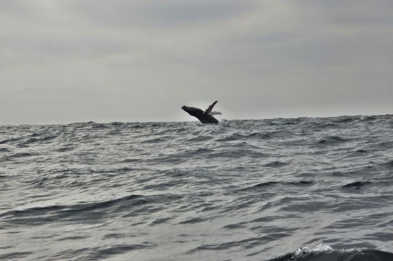 Горбатый кит выпрыгивает из воды