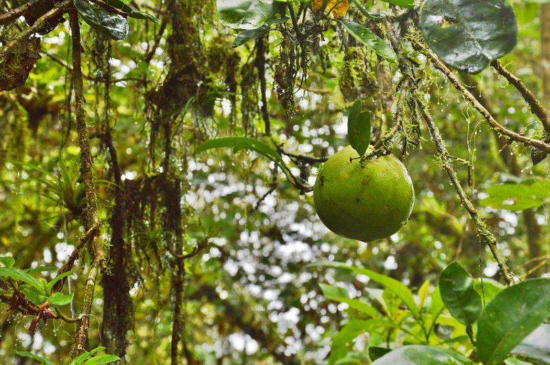 Дикий апельсин на дереве