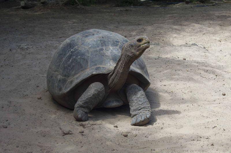 Слоновая черепаха животные Галапагосских островов
