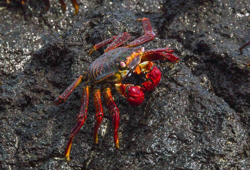 Крабы животные Галапагосских островов