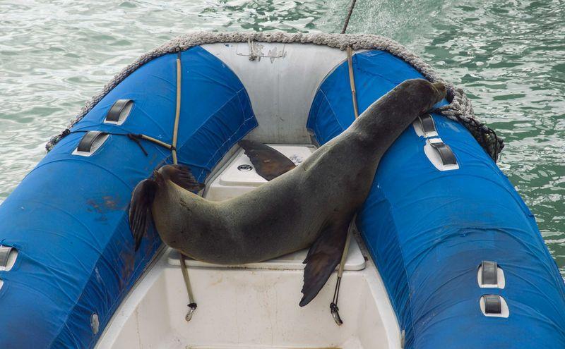 Лодка с морским котиком внутри