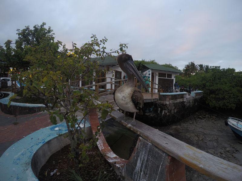 Пеликан в Пуэрто Айора Галапагосы
