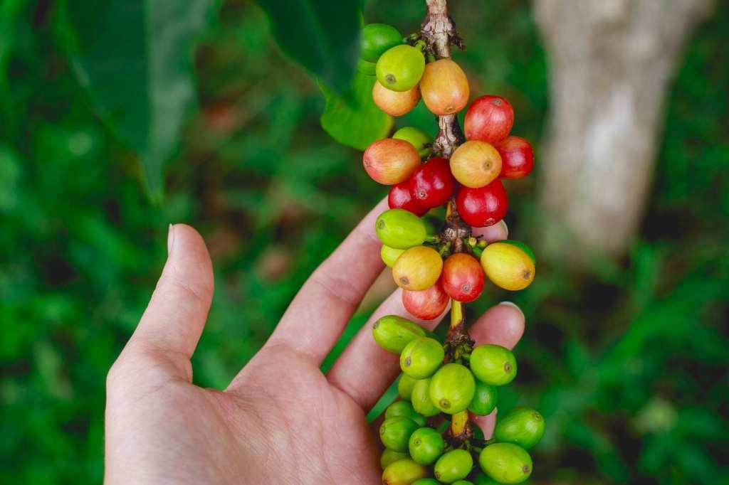 Ягоды кофейного дерева - колумбийский кофе