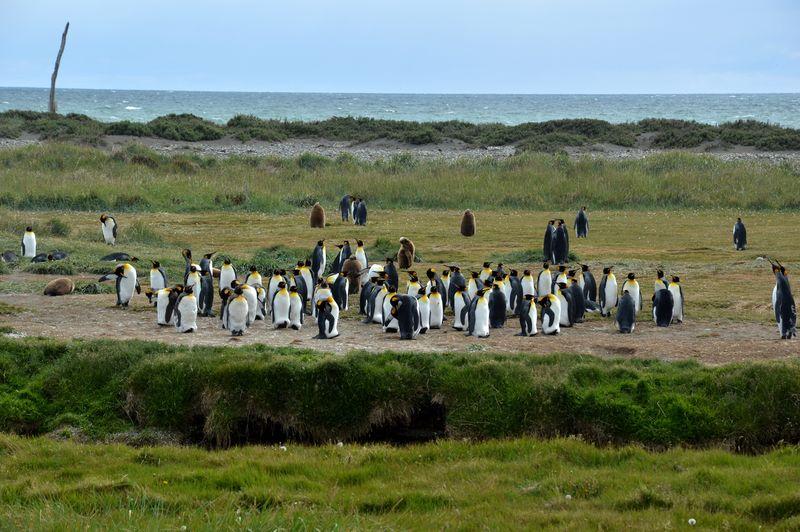 Королевские пингвины на Огненной Земле