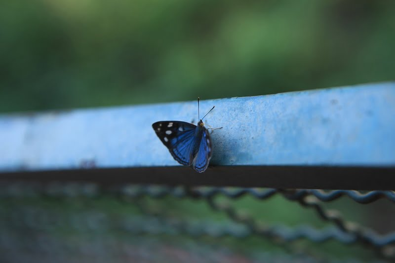 Бабочка Парагвай