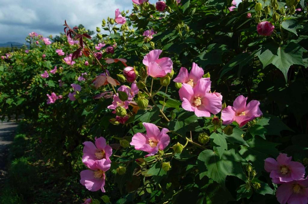 сентбярьские цветы