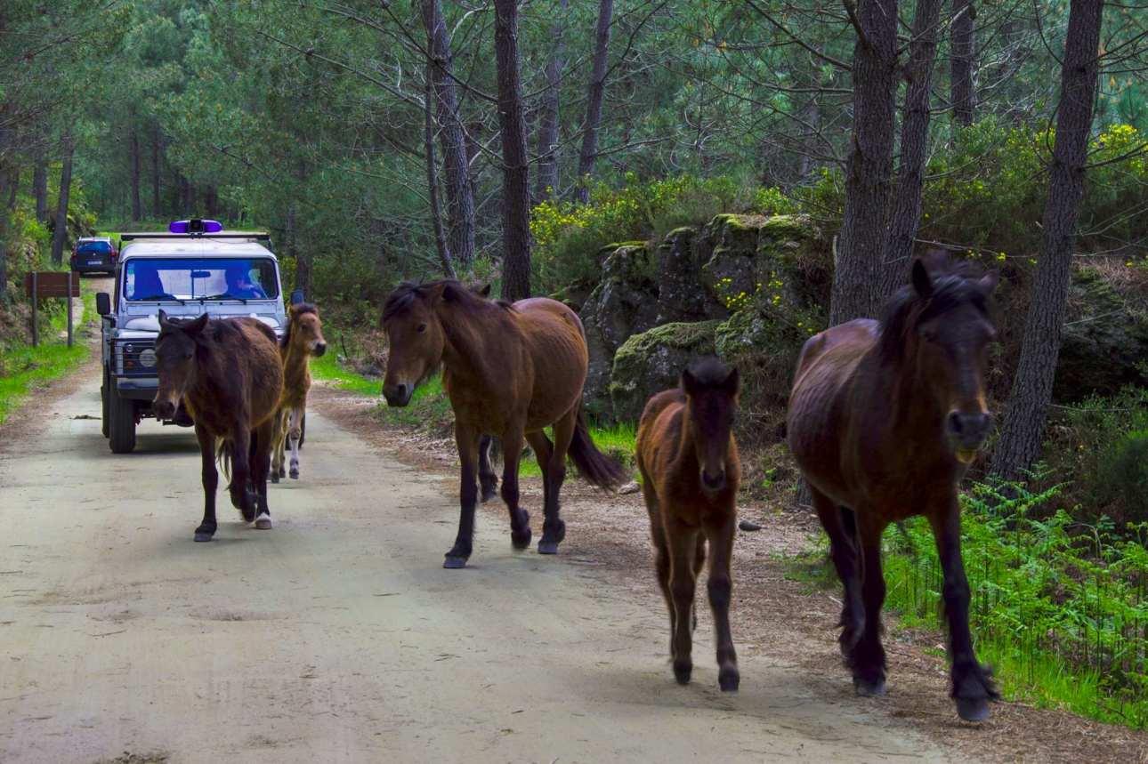 Кони бегут от машины