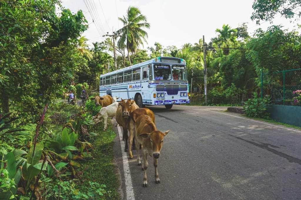 Автобус в Азии и коровы