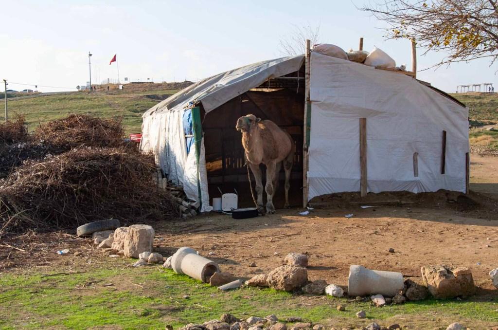 Верблюд в шатре