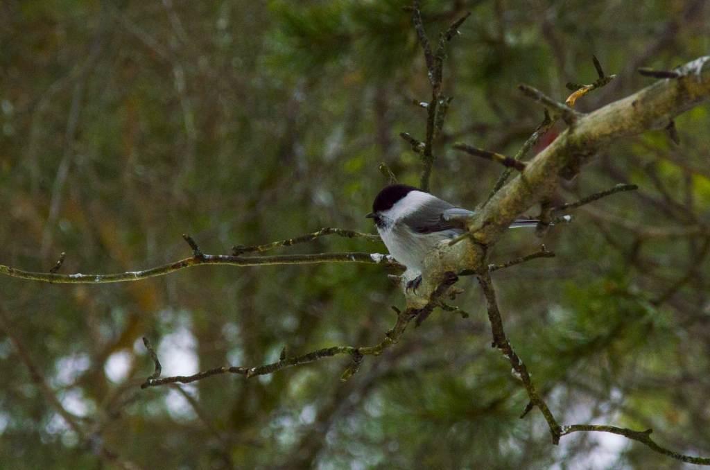 Птица буроголовая гаичка - Лапландия