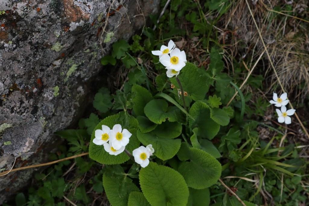 горные цветы белые