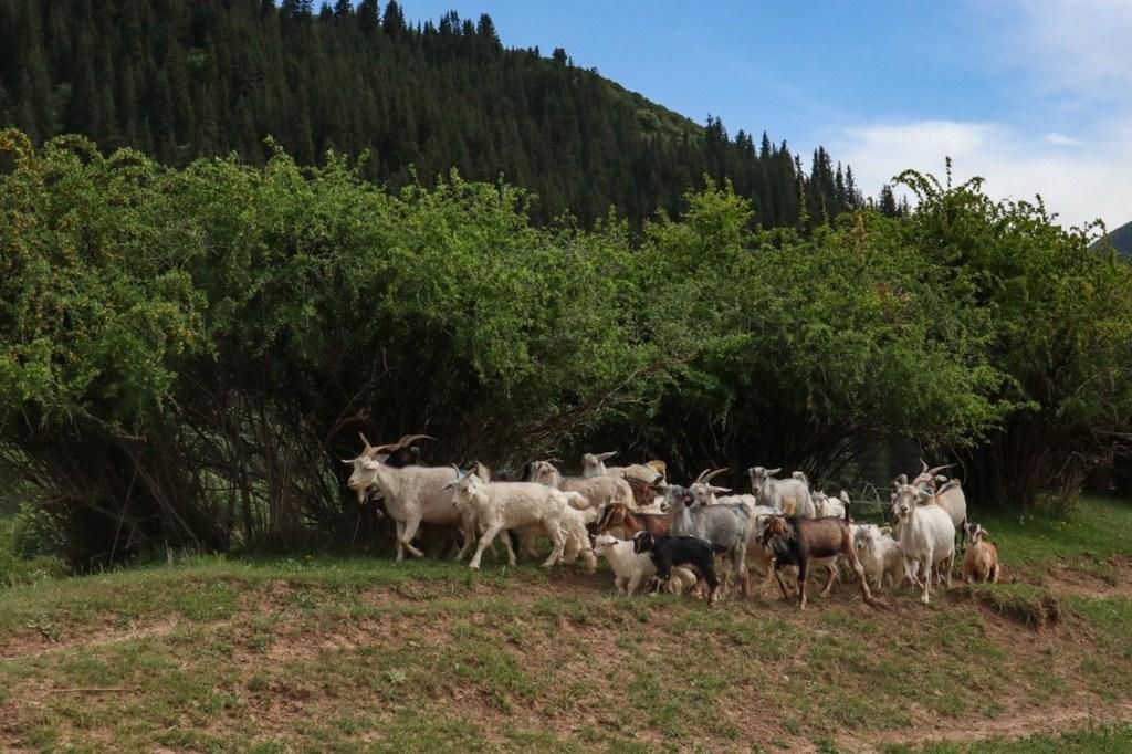 Стадо козлов