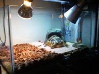 ヘルマンリクガメ