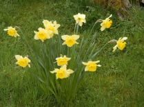 a host of golden daffodisl