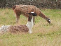 Llamas in New Mills ...