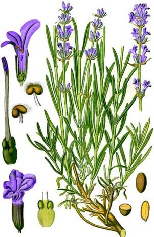 Lavendelpflanze mit Blüten und Samen