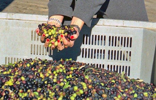 Hände einer Frau mit rot lackierten Fingernägeln sammeln frisch geerntete Oliven aus einem Korb