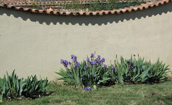 Schwertlilien in der Provence im Frühling als Einstimmung zu einer Motorradtour durch Provence und Camargue